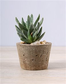 Succulent in a Cement Pot